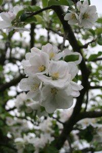 Apfelbluete weiss Fotos und Bilder
