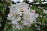 Apfelbluete Fotos und Bilder