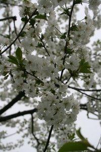 Kirschblüte Fotos und Bilder
