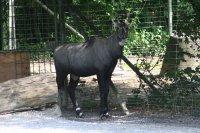 Nilgauantilope Fotos und Bilder