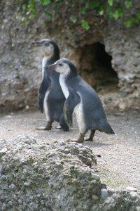 Pinguin neugierig Fotos und Bilder