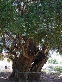 Riesiger Olivenbaum Fotos und Bilder