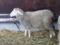 Schaf im Stall Fotos und Bilder